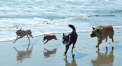 Dogs running in the beach
